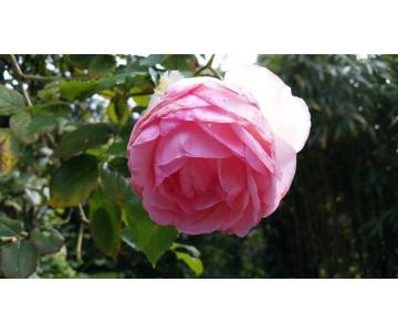 he Rose de Damas bio 5ml